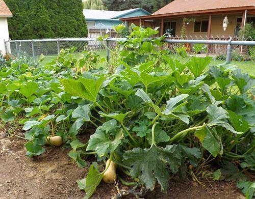 Выращивание тыквы в открытом грунте Советы дачникам
