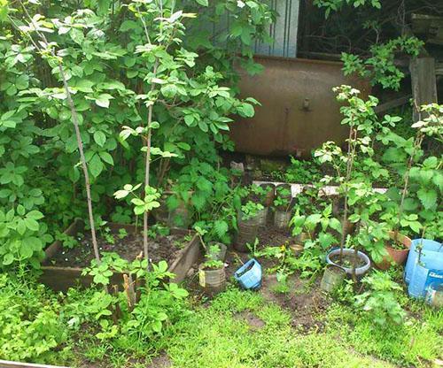 Выращиваем элеутерококк на подворье