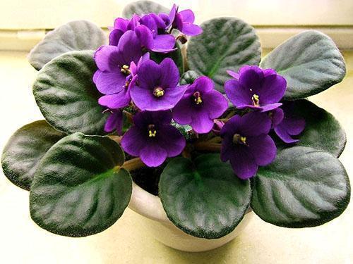 Взрослые растения фиалок нуждаются в пересадке
