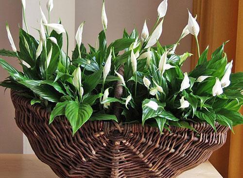 Здоровое растение с обильным цветением