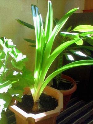 Гиппеаструм не цветет