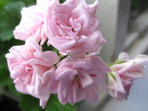 Нежные цветы пеларгонии Achievement