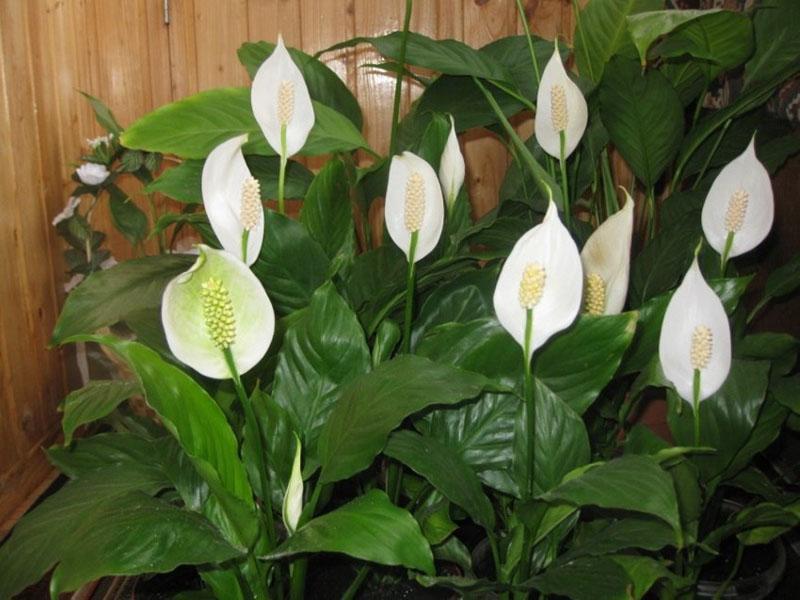 цветет спатифиллум