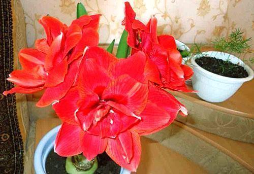 В зимнее время гиппеаструм радует красивым соцветием