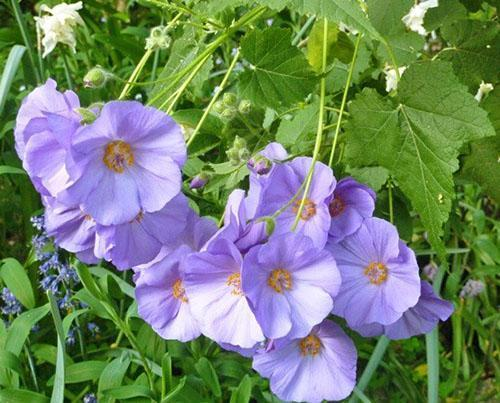 Абутилон виноградолистный (A. vitifolium)