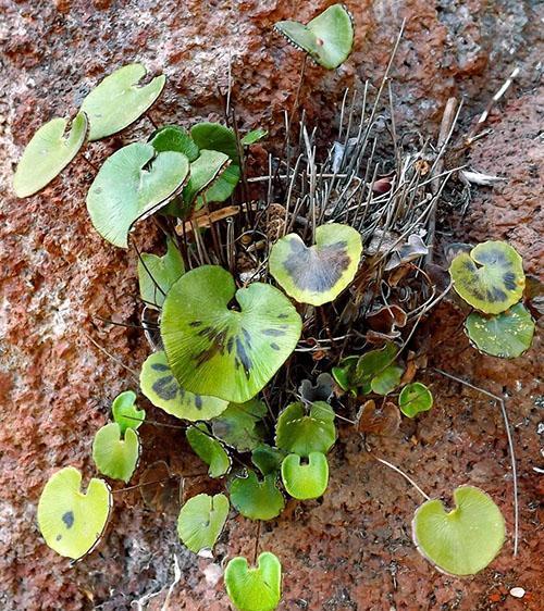 Адиантум почковидный (A. reniforme)