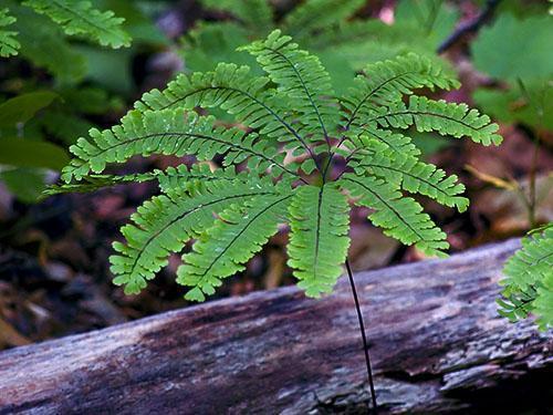 Адиантум стоповидный (A. pedatum)