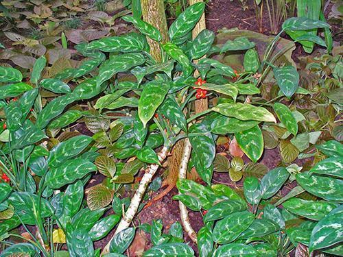 Аглаонема ребристая (A. costatum)