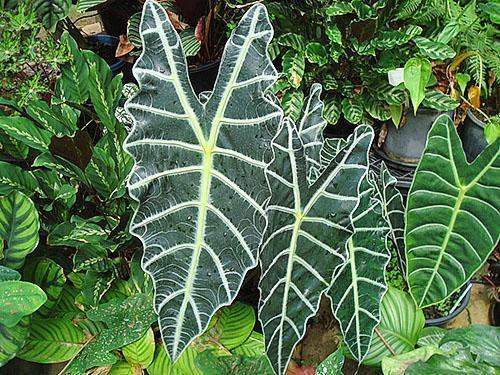Алоказия amazonica