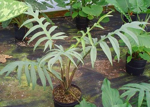 Алоказия brancifolia