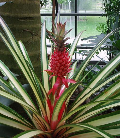 посадить ананас в домашних условиях