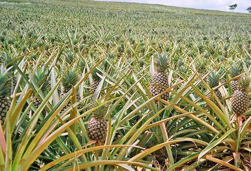 Как вырастить ананас в домашних условиях- советы, таблицы