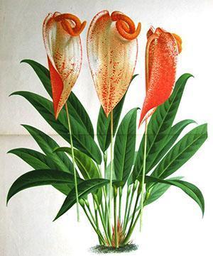 Anthurium Acherizerianum