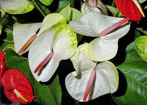 Антуриум Андре (Anthurium andreanum)
