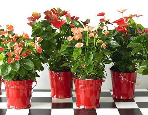 Антуриум мужское счастье разного цветения