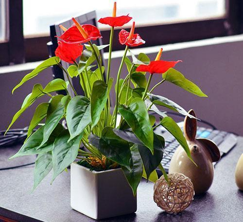 Антуриум радует заботливого садовода своим видом и цветением