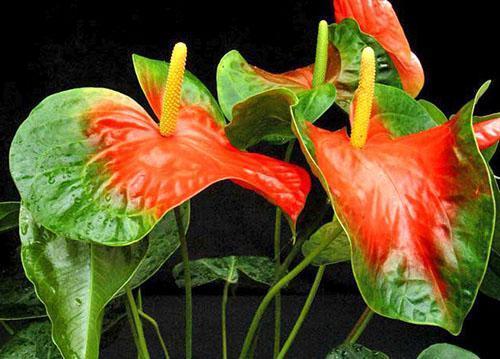 Антуриум сорта Araceae