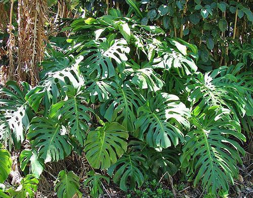 Ароидные растения в дикой природе