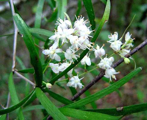Аспарагус серповидный (A. Falcatus)