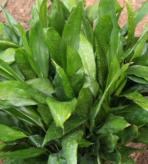 Аспидистра сичуаньская (A. Sichuanensis)
