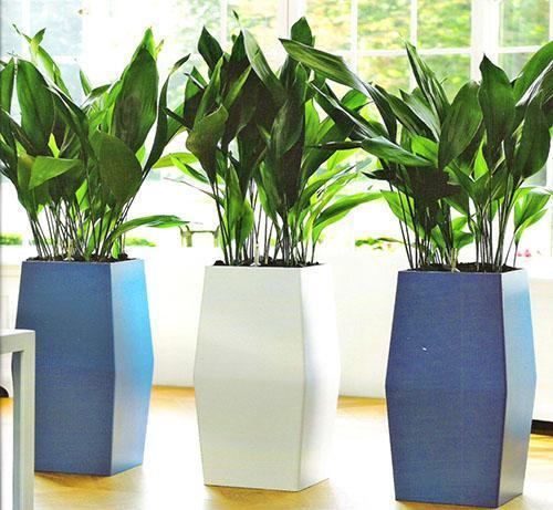 Аспидистра - родина растения интересные факты что символизирует видео