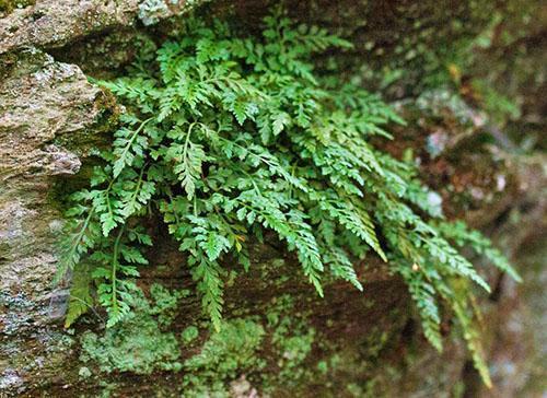 Асплениум монтанум – это небольшой вечнозеленый папоротник