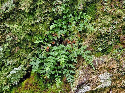 Асплениум монтанум или горный (A. montanum)