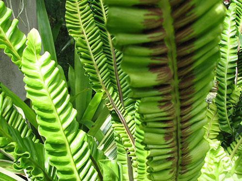 Асплениум nidus Plicatum с гофрированной листвой