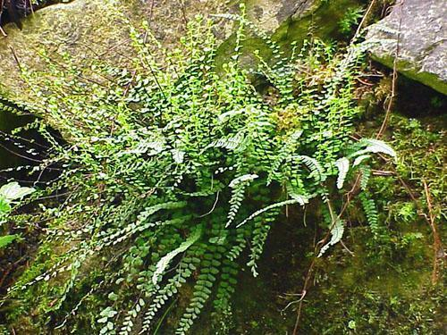 Асплениум растет на скалах, стенах и каменистых почвах
