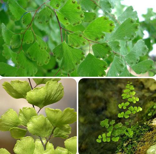 Биологические особенности строения вегетативных органов адиантума