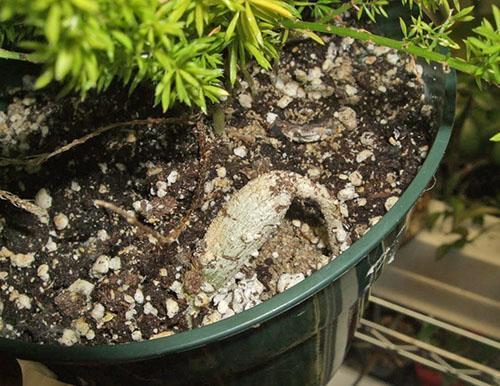 Больному растению требуется свежий грунт и жидкая подкормка