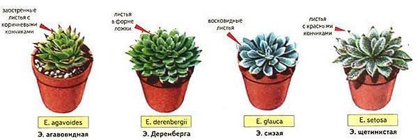 Четыре вида эхеверии для выращивания дома