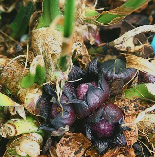 Цветение китайского вида аспидистры