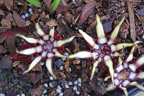 Цветет аспидистра гуаньджоуская