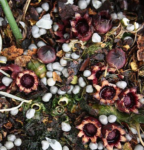Цветет аспидистра обланцефолиа
