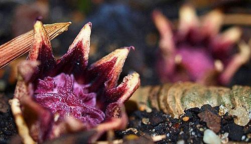 Цветы аспидистры не образуют нектар