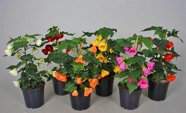 Декоративное растение абутилон