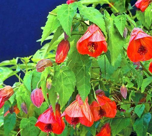 Для хорошего развития растения нужен плодородный легкий грунт