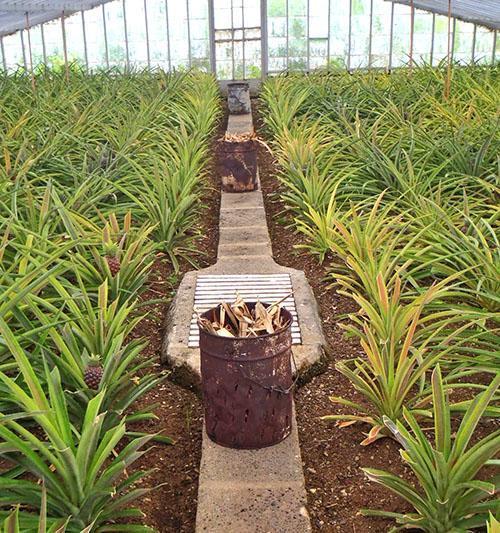 Для полива ананасов используют теплую подкисленную воду