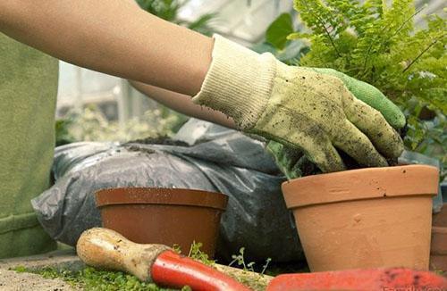 Для успешного развития пересаженного асплениума необходима специальная почва