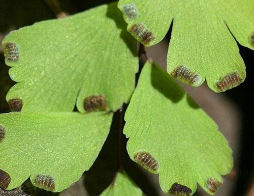 Для выращивания адиантума из семян нужен состав из торфа, листовой земли, песка