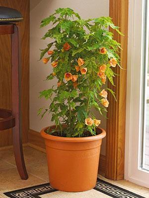 Домашний цветок абутилон