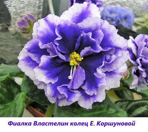 Фиалка Властелин колец Е. Коршуновой