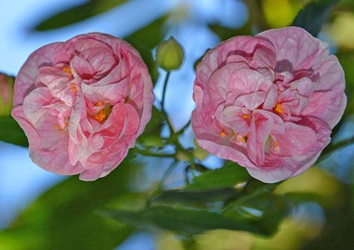 Гибридный абутилон сорта Pink Swirls с нежно розовыми венчиками
