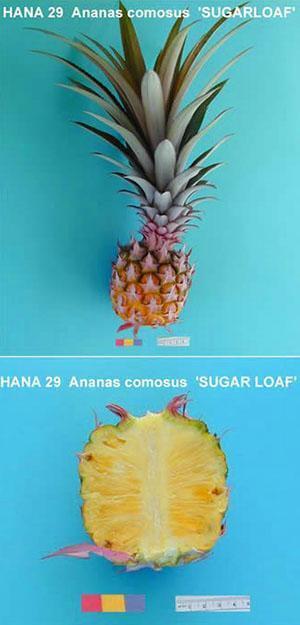 Группа крупнохохолковых ананасов «Abacaxi»