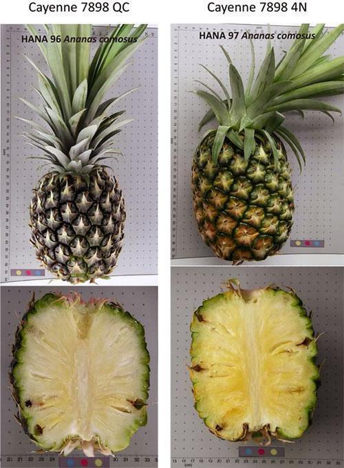 Группа сортов ананасов «Smooth Cayenne»