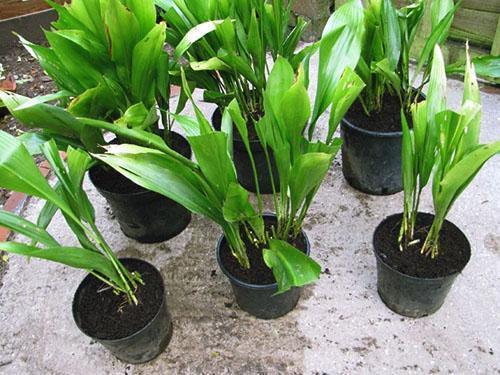 Из-за недостатка питательных веществ растение перестает расти