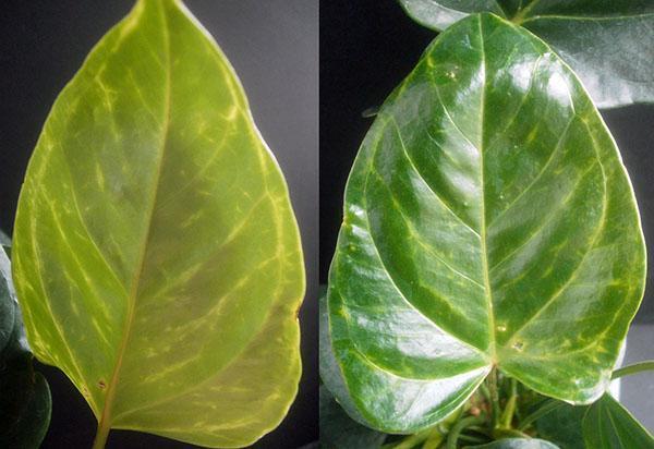 К изменению листовых пластин приводят поселения вредителей