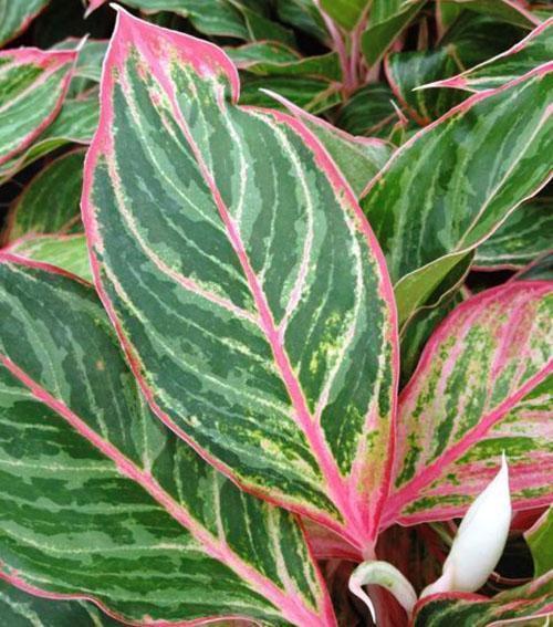 Комнатные аглаонемы отличаются особой декоративностью листьев