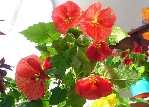 Комнатный абутилон радует хозяев своим цветением
